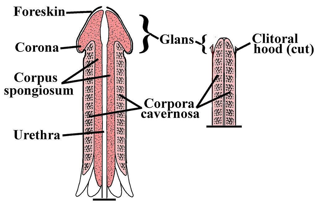 Struktura penisu