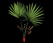 slozeni-saw-palmetto