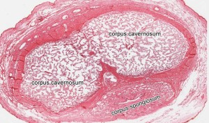 Tkáň v penisu při erekci
