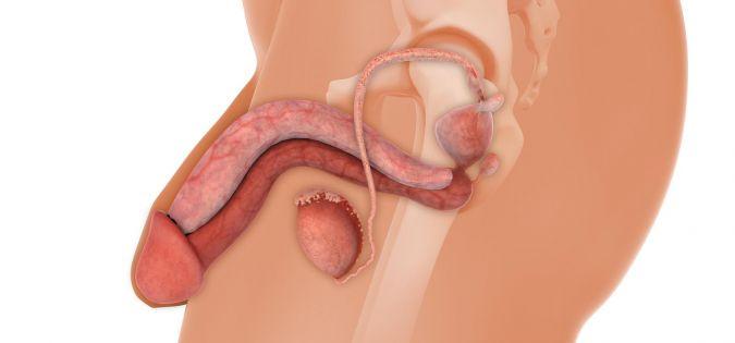anatomie penisu